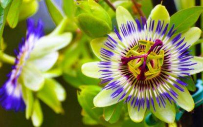 """Lulja e sahatit / Njihet si lulja e pasionit, por mësoni """"magjinë"""" që bën ajo kundër ankthit dhe stresit"""
