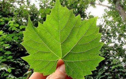 Gjethet e Rrushit, përdorimet kundër Reumatizmës