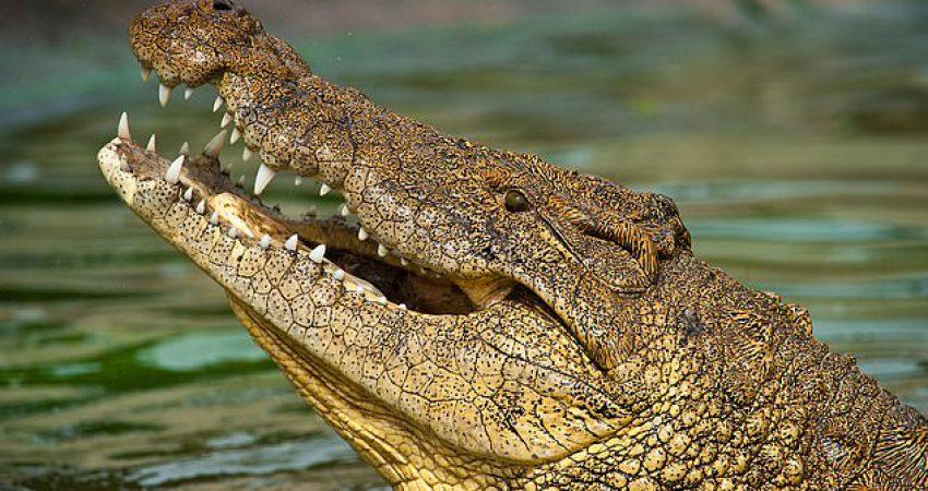Krokodilët nuk kanë ndryshuar formë që prej krijimit të tyre